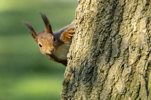 Close-up of Eurasian red squirrel on tree trunk - STSF02538