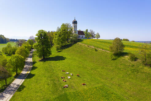 Germany, Bavaria, Munsing, Drone view of cattle grazing in front of Church of Assumption of Virgin Mary in spring - SIEF09821