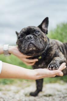 Portrait of bulldog giving paw - OCMF01215