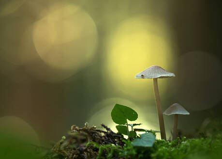Close-up of mycena mushroomsgrowing in forest - BSTF00148
