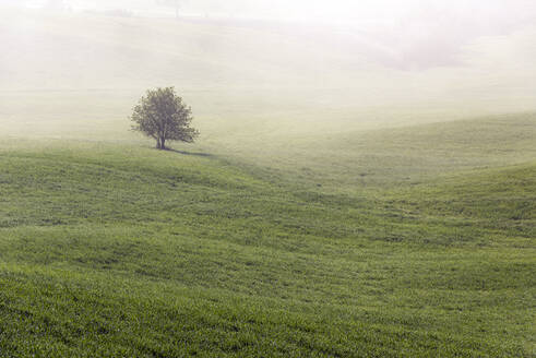 Italy, Tuscany, Lone tree growing in foggy meadow - RPSF00308
