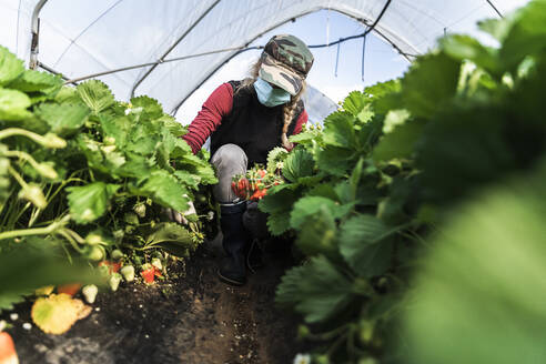 Woman crouching while harvesting organic strawberries at greenhouse - MCVF00339