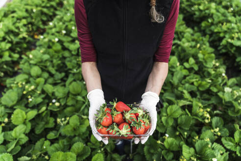 Woman holding container with fresh organic strawberries at greenhouse - MCVF00342
