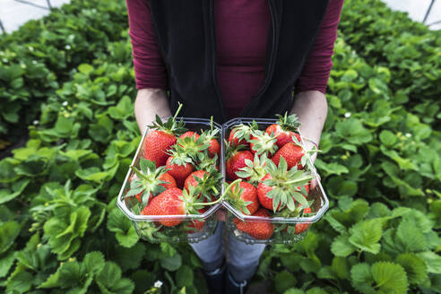 Female farmer holding fresh strawberries in containers at greenhouse - MCVF00345