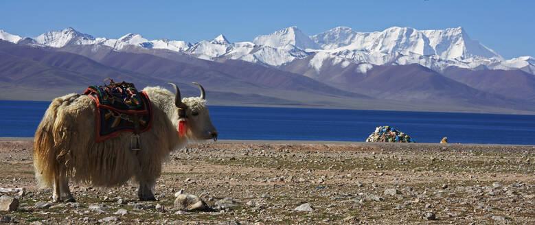 White yak in front of lake Namtso in Tibet - CAVF81025