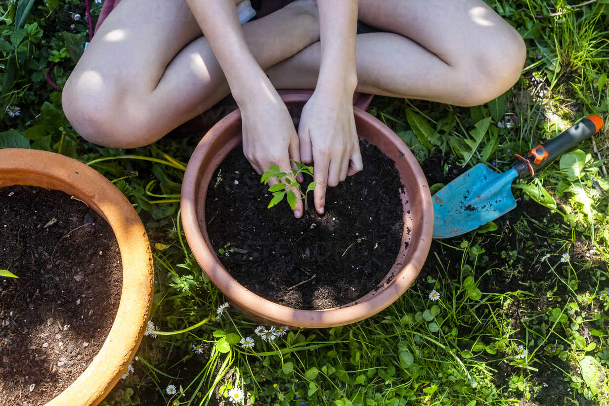 Crop view of girl potting tomato plant in a garden - SARF04586 - Sandra Roesch/Westend61