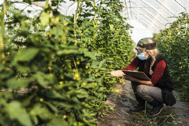 Female farm worker with surgical mask checking the growth of organic tomatoes in a greenhouse - MCVF00376