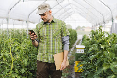 Organic farmer using smartphone in greenhouse with organic tomato cultivation - MRAF00572