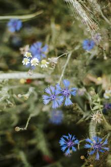 Cornflowers and chamomile - VBF00058