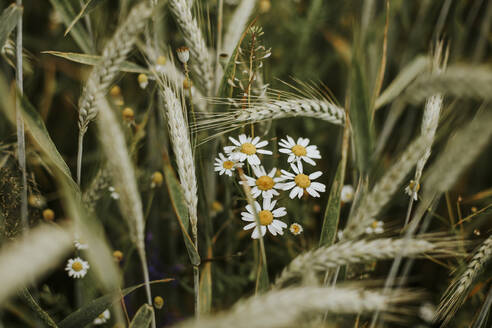 Chamomile and wheat on a field - VBF00067