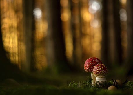 Close-up of two fly agarics (Amanita muscaria) growing in forest - BSTF00165