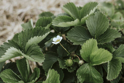 Flowering strawberry in garden - VBF00080