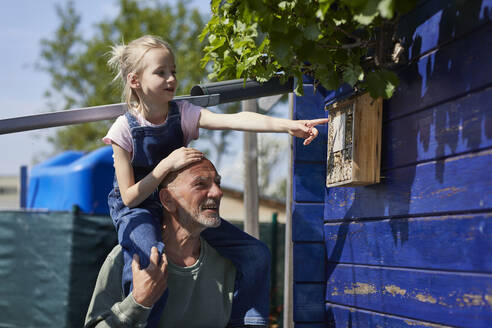 Grandfather and granddaughter inspecting bee hotel in allotment garden - MCF00849