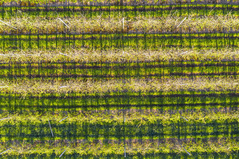Germany, Bavaria, Gaissach, Drone view of apple orchard in spring - SIEF09851