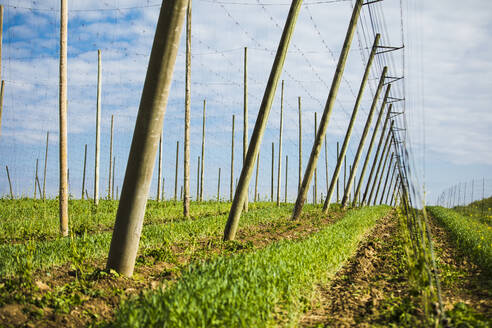 Hop crops growing on field against sky at Hallertau, Bavaria, Germany - MAEF12991