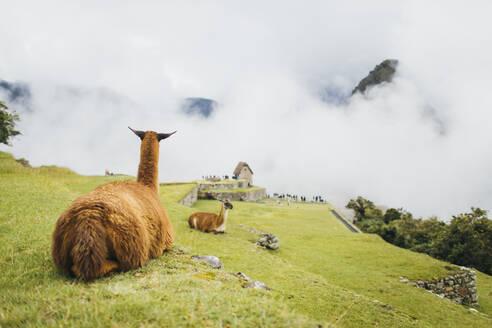 Llamas are sitting near Machu Picchu in Peru - CAVF82408
