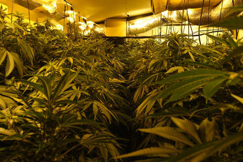 Illegal marijuana planting indoors at home - CAVF83112