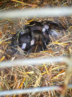 Baby bunnies sleeping in straw - NGF00546