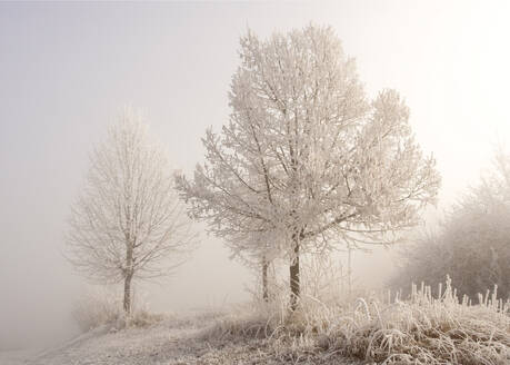 Frosted trees at foggy winter dawn - BSTF00174