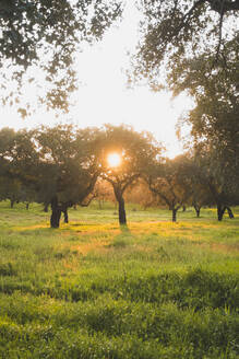 Trees on grassy field during sunset against clear sky at Evora, Portugal - FVSF00409