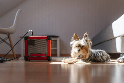 Yorkshire Terrier lying by amplifier on hardwood floor at home - JMHMF00053