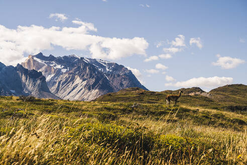 Chile, Lone guanaco (Lama guanicoe)grazing in Torres Del Paine National Park with Cuernos Del Paine in background - UUF20635