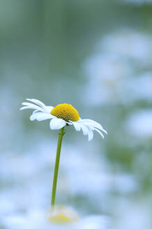 Oxeyedaisy in bloom - BSTF00185