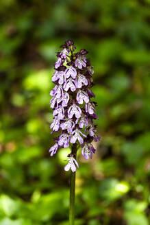 Broad-leaved marsh orchid (Dactylorhiza majalis) in bloom - NDF01078
