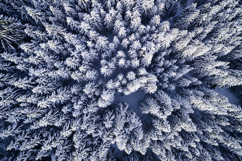 Aerial View Of Snow Covered Pine Trees In Forest During Winter - EYF05870