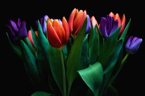 Close-Up Of Tulips Against Black Background - EYF06879