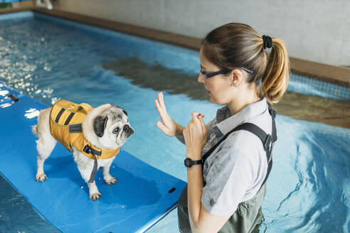 Physiotherapist training pug dog on inflatable raft in swimming pool at center - GMLF00280