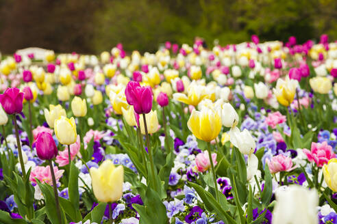 Flowerbed of colorful tulips - FLMF00254
