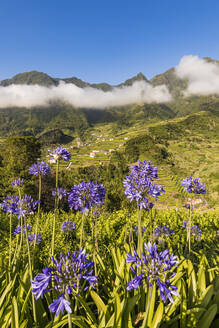 Portugal, Sao Vicente, Agapanthus flowers blooming in green summer valley with terraced fields in background - WDF06085