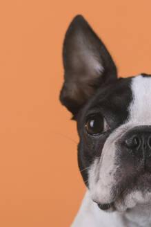 Portrait of boston terrier puppy in front of orange background - RTBF01479