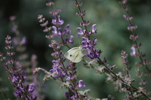 White moth perching on blooming lavender - DASF00086