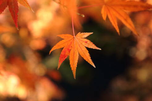 Close-Up Of Maple Leaves - EYF09013