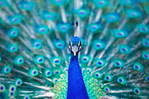 Close-Up Portrait Of Peacock - EYF09123