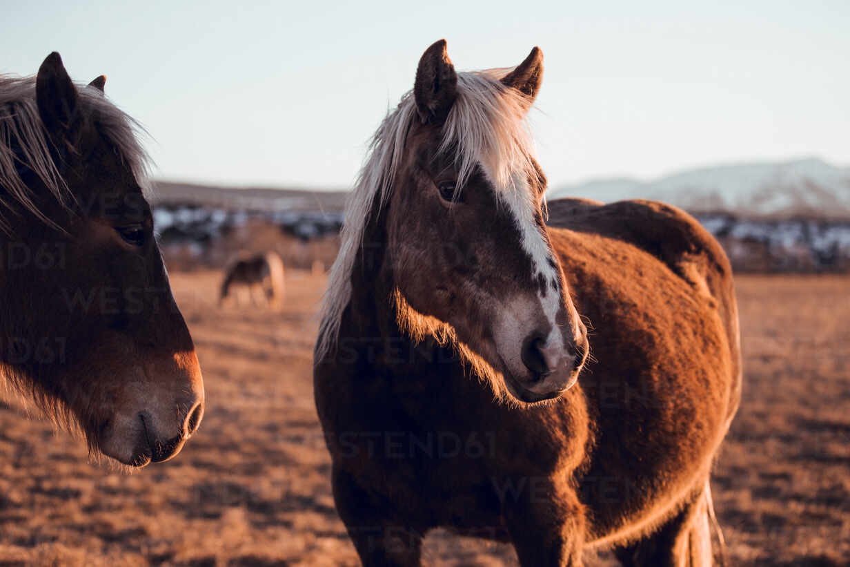 Side View Of Beautiful Horses Pasturing On Meadow Between Mountains At Sunset In Cerdanya France Adsf00099
