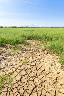 Dry cracked soil in vast summer oat field - SMAF01913