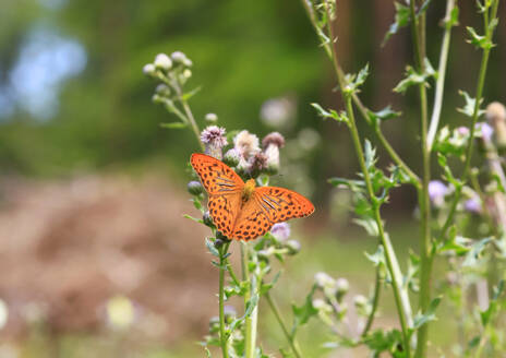Silver-washed fritillary (Argynnis paphia) perching on plant - JTF01603