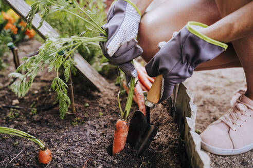 Close-up of mid adult woman collecting carrot from raised bed in vegetable community garden - EBBF00423