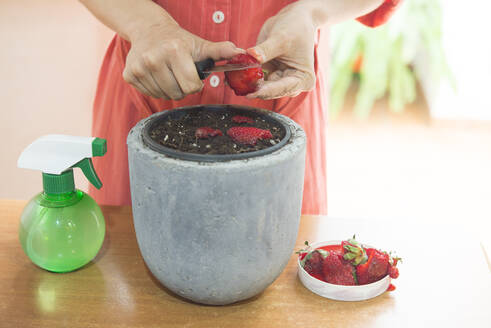 Close-up of mid adult woman cutting strawberries in flower pot on table - SKCF00656