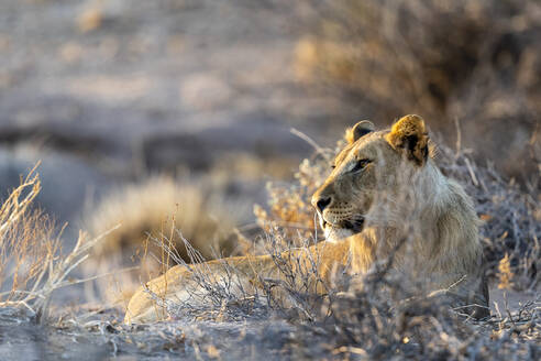 A young male desert lions is lying in the sand at sunset - CAVF87248
