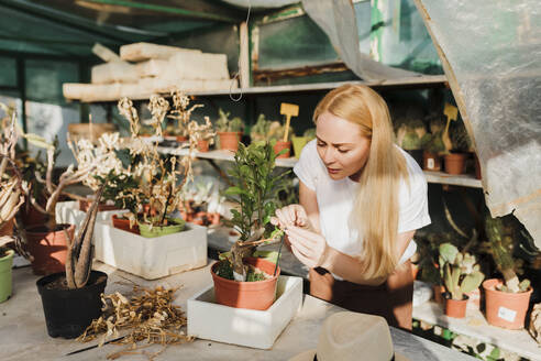 Female owner with blond hair examining potted plant on table in greenhouse - MRRF00226