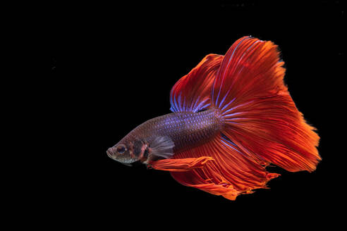 A movement of betta fighting fish in black background - CAVF88170