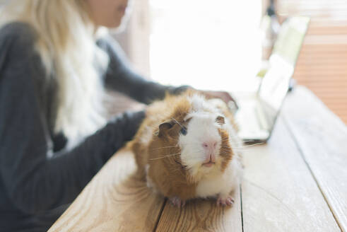 Close-up of guinea pig on table against woman using laptop at home - SKCF00683