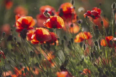 Poppy field - ASCF01429