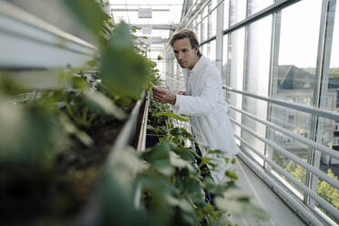 Scientist in a greenhouse examining plants - JOSEF01617