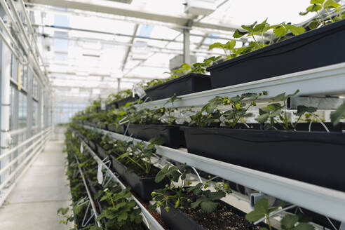 Close-up of potted plants growing on racks in greenhouse - JOSEF01721