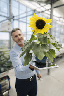 Close-up of businessman holding digital tablet and sunflower in greenhouse - JOSEF01796